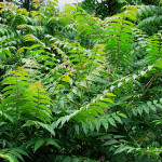 20120702-invaziv-fafajtak-mirigyes-balvanyfa-ailanthus-altissima