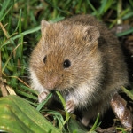 Common Vole (Microtus arvalis) feeding on grass