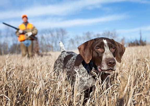 hunting-dog-training