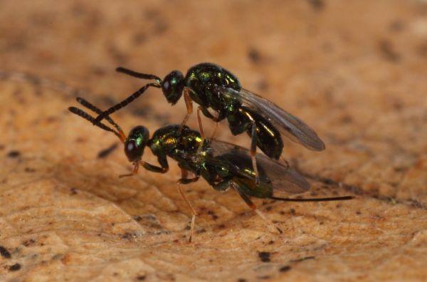 2. kép: Specialista parazitoid faj, a Torymus siensis (Fotó: Csóka György)