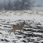 Újra kezdték a vadak téli etetését Szolnok határában
