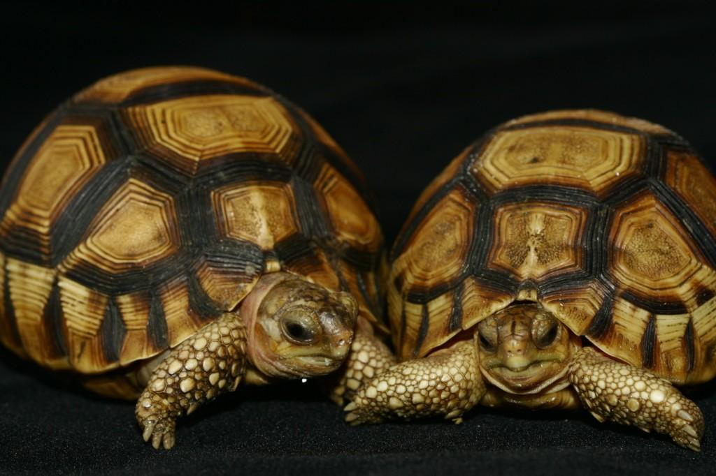 teknős1