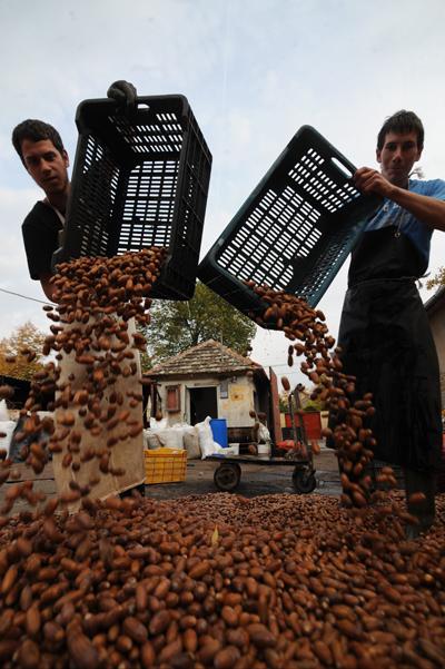 A kocsányos tölgy összegyűjtött terméseit erdőtelepítésre használják.Fotó: Schmidt Andrea