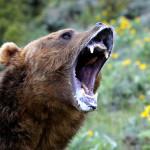 United States, Minnesota, Grizzly bear (Ursus arctos horribilis)