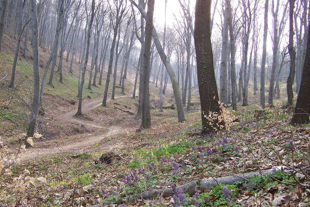 Bükkerdő a Budai-hegységben kora tavasszal (BAJOMI BÁLINT FELVÉTELE)