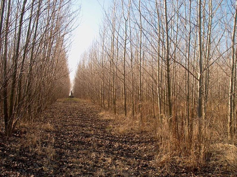 6. kép: Agroerdészeti rendszerben üzemeltetett nemesnyár energetikai faültetvény (fotó: Marosvölgyi B.)
