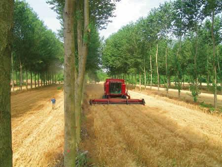 1. kép Élelmiszer-alapanyag (gabona) és minőségi faanyag (nyárfa) együttes termesztése (Fotó: Christian Dupraz)