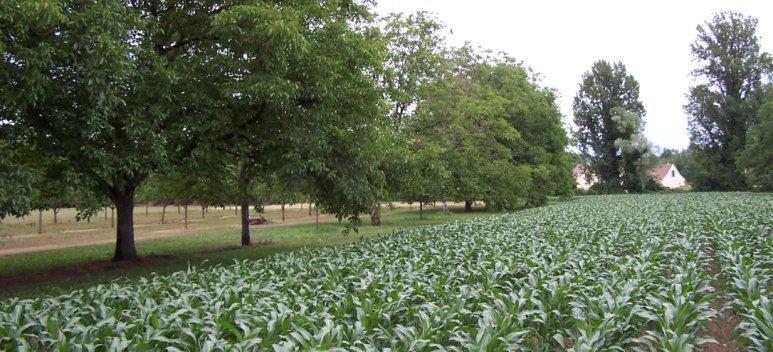 3. kép: Diófa és kukorica együttes termesztése (Forrás: Orosz Péter: Könyv a dióról)