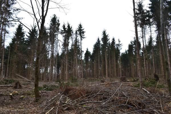 Lucfenyves - Ennek a lucfenyvesnek a nyári vihar, majd a decemberi jégkár sem adott kegyelmet. Az Egererdő Zrt. szakemberei döntésére az erdőt - amíg van mit, hisz a gombakárosítók gyorsan dolgoznak - hasznosítják, és jövő tavasszal őshonos lombos fajokkal ültetik újra.
