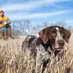hunting-dog-training