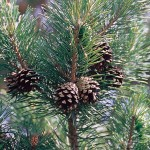 Pinus_sylvestris