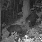 Medvék a Tátrai Nemzeti Parkban. Jobboldalt Iwo (forrás: globeproject.pl)
