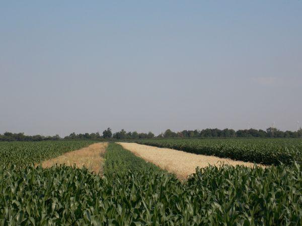 Vadföld csíkok kukoricában