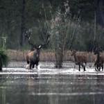 Kánikula - Fürdõzõ szarvasok a barcsi erdészetben
