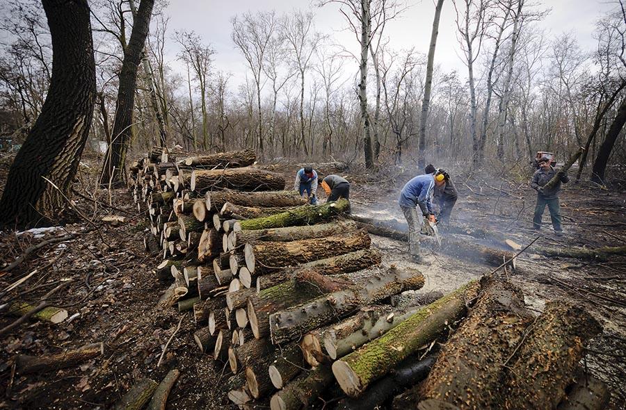 Fakitermelés a debreceni Nagyerdőben