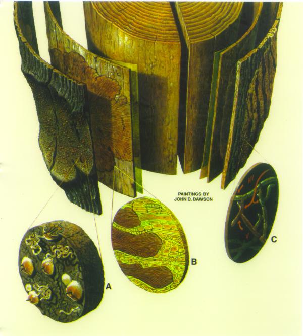 2. ábra: A kéregrák jellegzetességei (John D. Dawson illusztrációja)