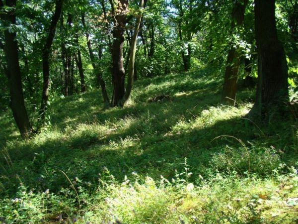 5. kép Nagymarosi erdő jellegű gesztenyés (Fotó: Zeller Zoltán)