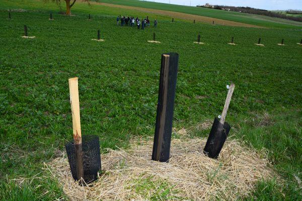 Szőlőtőkék és támrendszerként hasznosításra kerülő barkóca berkenye együttes telepítése és nevelése ősi gyakorlathoz nyúl vissza
