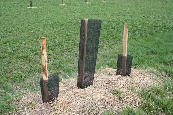 Egy elfeledett módszer – valamikor a fák mellé szőlőt ültettek, a támaszt maga a fa jelentette a szőlőnek