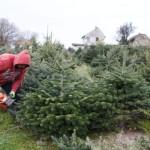 Vágják a karácsonyi fenyõfákat Zalában