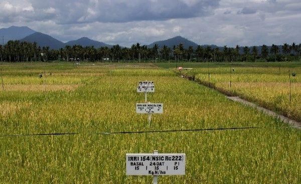 A Nemzetközi Rizs-kutatási Központ kísérleti parcellái