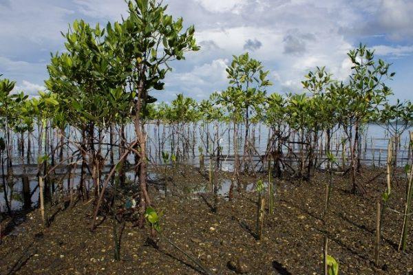 1 éves szegély mangrove erdő