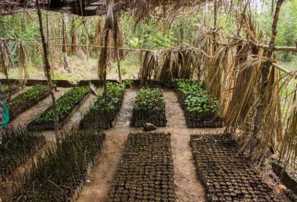 Mangrove szaporítóanyag különböző méretekben