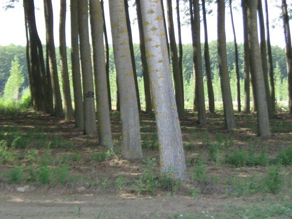 8. kép: Vágásérett ültetvény