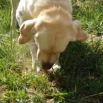1. kép: A szarvasgombák gyűjtése képzett kutyákkal történik