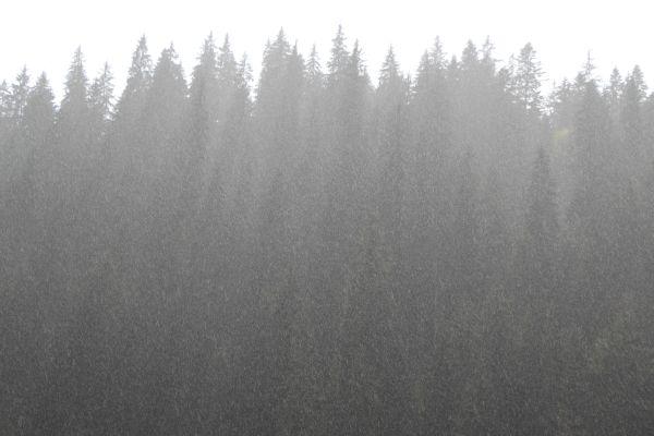 Székelyföldi fenyőerdő szitáló esőben - Fotó: Gribek Dániel