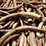 Zambian Ivory Trade