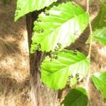 A fiatal kanyargós szillevéldarázs lárvák jellegzetes rágásnyoma (Fotó: Dr. Vétek Gábor)