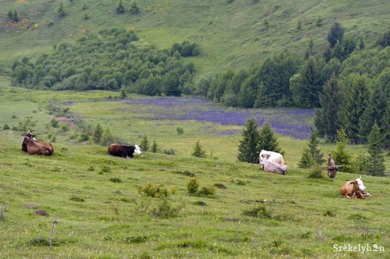 Felemás helyzet. A beerdősödött kaszálók, legelők széleit is bevették az erdőalapba • Fotó: Kristó Róbert