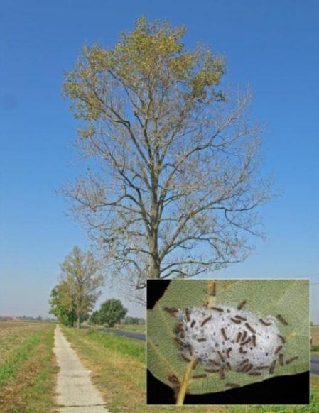 A nyár gyapjaslepke (Leucoma salicis) tipikus, alulról induló lombrágása és fiatal hernyói