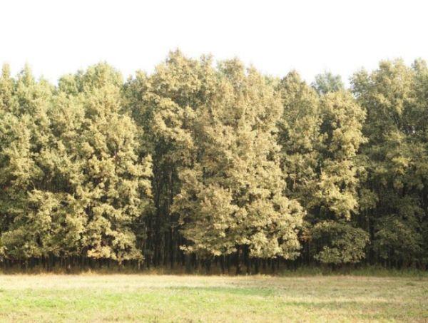 A tölgy csipkéspoloska (Corythucha arcuata) állomány szintű kártétele a Mályvádi erdőben