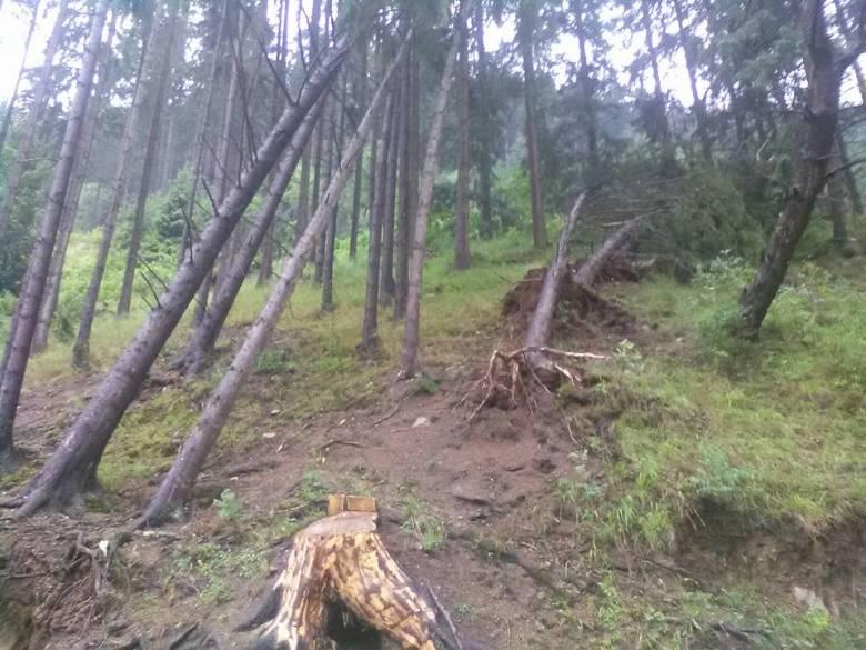 Számos fiatal fát döntött ki, vagy tört derékba a vihar az orotvai erdőkben • Fotó: Gál-Pál László