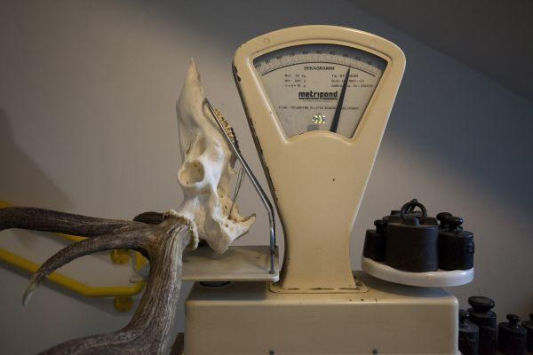 Zalaegerszeg, 2017. szeptember 11. Egy kapitális gímbika 15,25 kilogramm súlyú trófeája a mérlegen a bírálás során a Zalaegerszegi Járási Hivatal Agrárügyi és Környezetvédelmi Fõosztály Földmûvelésügyi Osztályán 2017. szeptember 11-én. A vadat egy francia hölgy ejtette el szeptember 5-én a Zala-Jagd Vadásztársaság területén. A trófea értéke 10 millió forintra tehetõ. MTI Fotó: Varga György