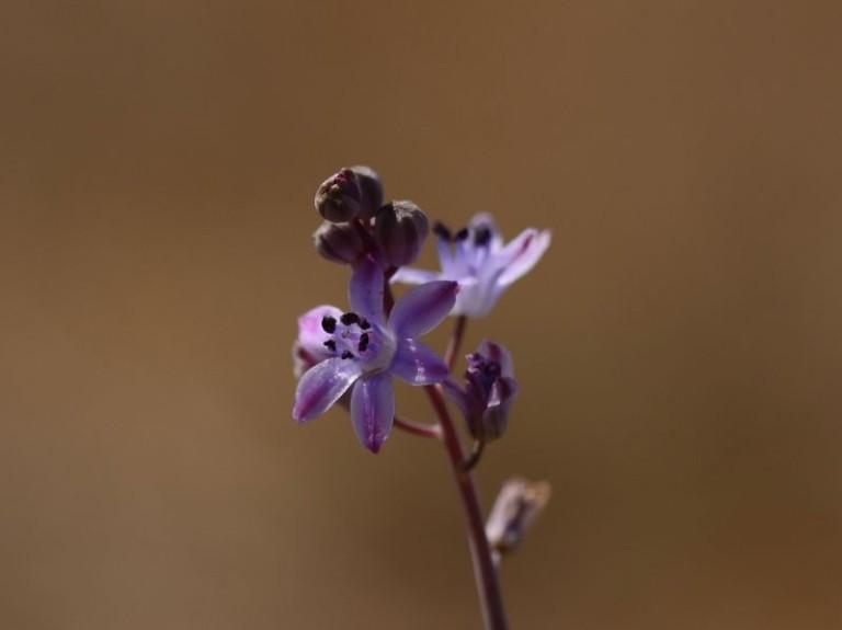 Őszi csillagvirág (Fotó: Kiskunsági Nemzeti Park Igazgatóság)