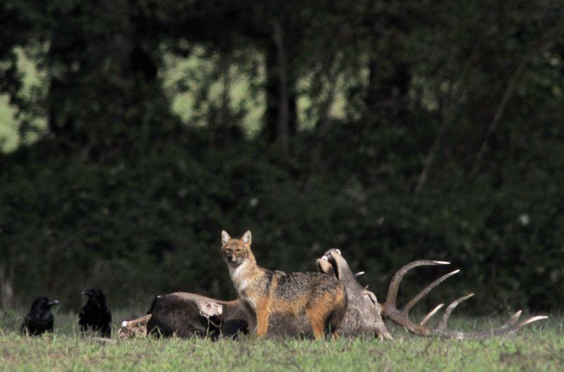 Böhönye, 2017. szeptember 29. Hollók (Corvus corax) és egy aranysakál (Canis aureus) egy verekedésben elpusztult gímszarvas bika (Cervus elaphus) teteménél a Somogy megyei Böhönye környékén 2017. szeptember 17-én. MTI Fotó: Kovács Attila
