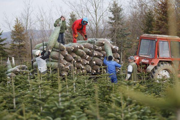 Kivágott fenyõket pakolnak egy traktor pótkocsijára Dömötörfy János birtokán a Zala megyei Nemespátrón 2017. november 25-én. Az ország egyik legnagyobb fenyõnevelõ térségében elkezdõdött a karácsonyfák kivágása. MTI Fotó: Varga György