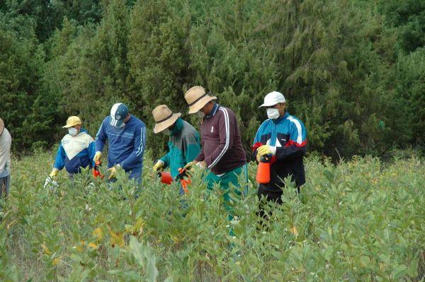 Selyemkóró kézi permetezése védett természeti területen Forrás: KNP archívum