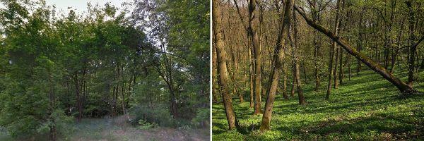 Inváziós növényfajok által tönkretett erdőterület és természetközeli állapotú homoki lösztölgyes Forrás: DINPI archívum