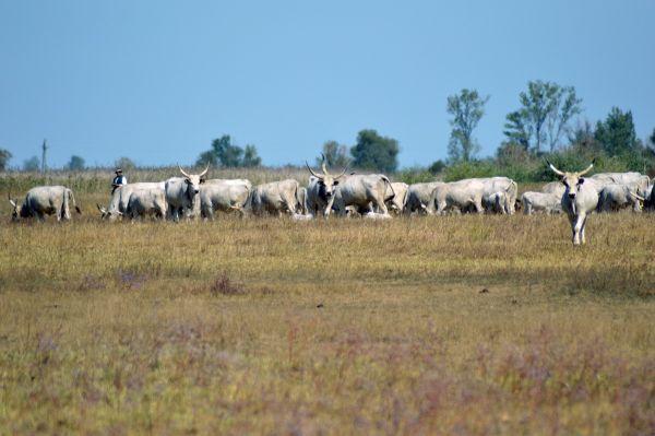 Szürke marhák Fotó: Bakó Gábor