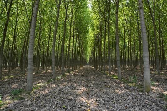 Nemesnyár ültetvény - www.erti.hu