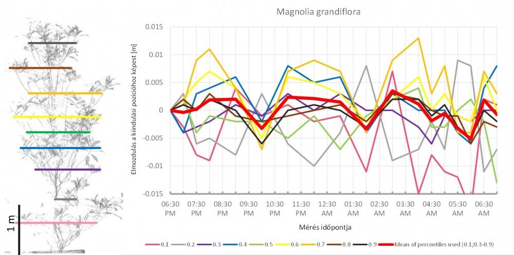 Az ábra bal oldalán a magnólia háromdimenziós modelljének oldalnézete látható. A színes vonalak jelölik azokat a magassági határokat, amelyek a pontok egytizedét tartalmazó tartományokat elválasztják. Ahogy a fa alakja az éjszaka folyamán megváltozott, ezek a tartományok is elmozdultak – ez látható a jobb oldalon. A skála méterben van megadva, az elmozdulás tehát +/–1 cm körüli. A képen látható, hogy az éjszaka folyamán három, egyenként kb. négy óra hosszú elmozdulási ciklus történt. - Forrás: MTA ÖK