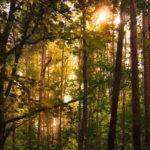 Napsütés egy Berlin melletti erdőben. Az EU szárazföldjének 42%-át, 161 millió hektárt borítanak erdők 2015-ös adatok szerint Fotó: flickr/Alexander Steinhof, CC-BY-SA