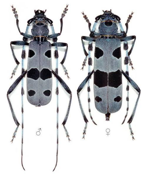 Havasi cincér hímje (balra) és nősténye (jobbra) (forrás: Hoskovec, Jelínek & Rejzek: Cerambycidae)