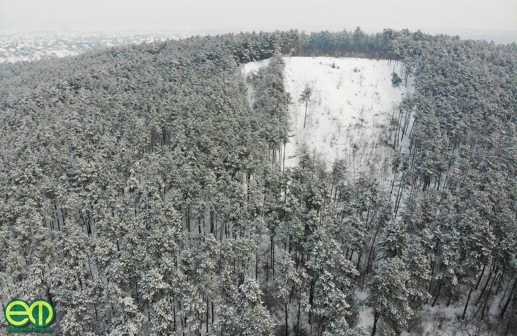Fenyőerdő Pilisszentivánon – Fotó: Gribek Dániel