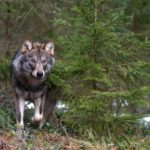 Grey wolf (Canis lupus) next to small conifer, Tver Oblast, Russia, March 2008