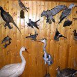 kitömött madarak közleményhez_1 (1)